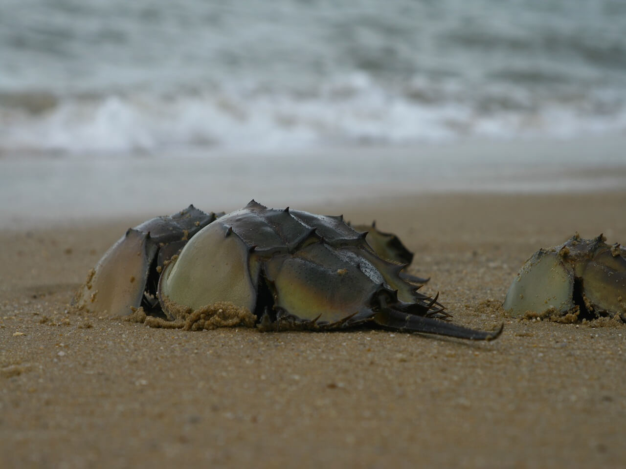 What Blue Blood of Horseshoe Crab Can Do